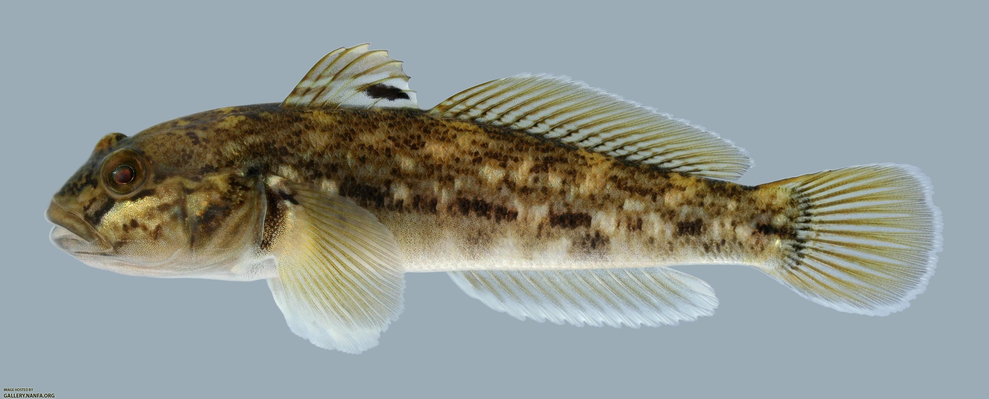 neogobius melanostomus round goby