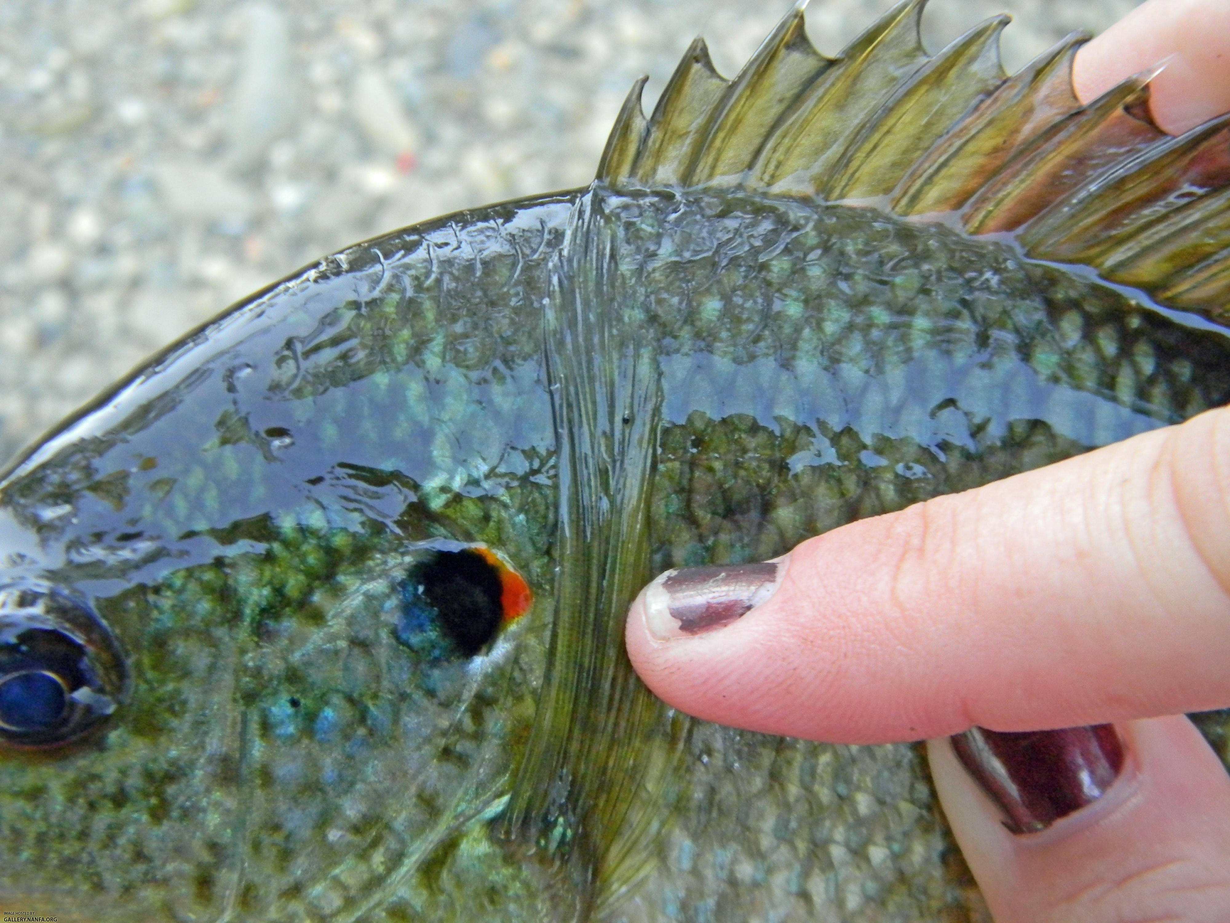 redear sunfish long pectoral fin