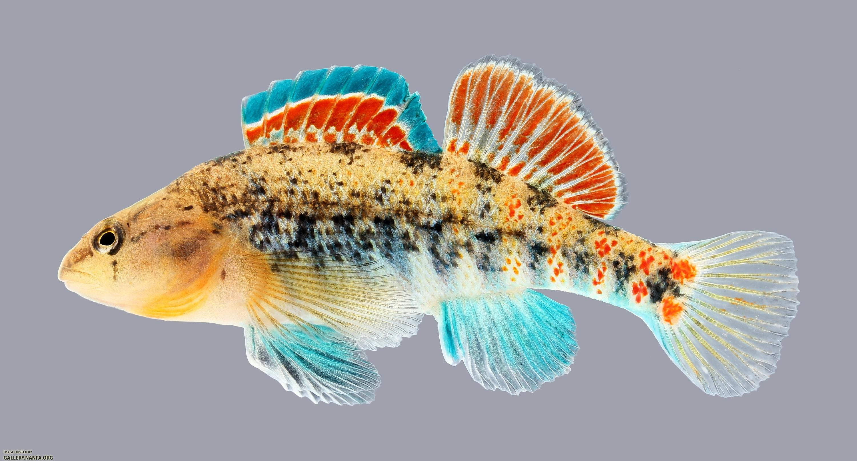 Etheostoma spectabile Orangethroat Darter 1065