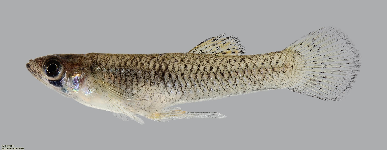 Gambusia affinis Western Mosquitofish 1218