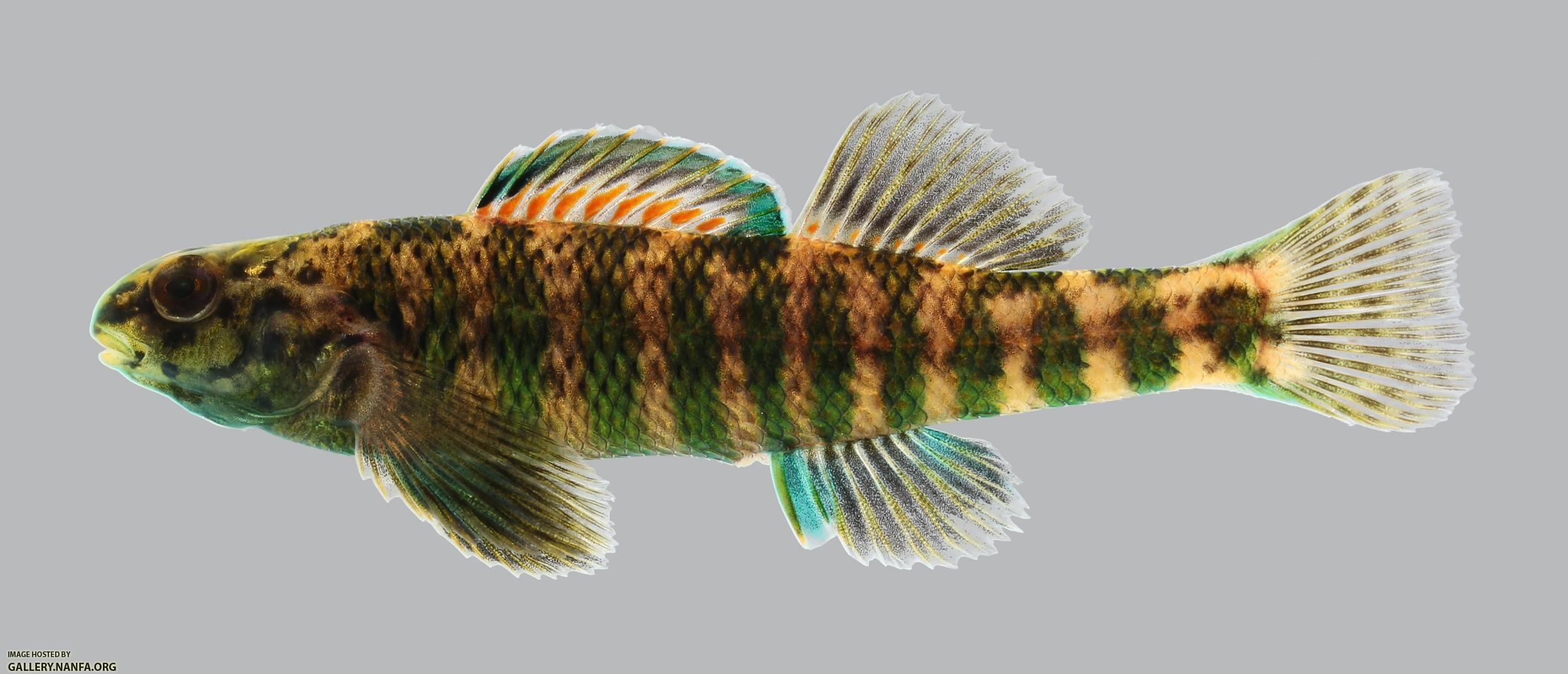Etheostoma zonale Banded Darter 811.2500